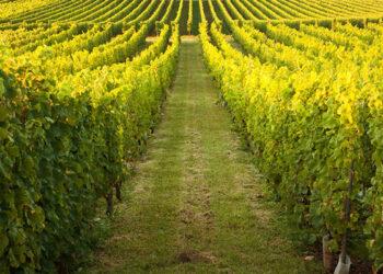 assurance vigne, viticulteur grêle et gel